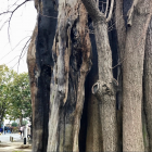 浅草寺に焼け焦げた樹齢800年といわれる「御神木 イチョウ」がある!