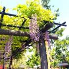 藤の花が満開! 様々な「藤」で浅草を楽しもう
