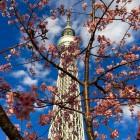 浅草周辺で河津桜が見ごろ! 撮影スポットや、河津桜の特徴をご紹介